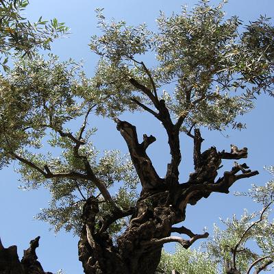 Very Old Olive Tree at Gethsemane