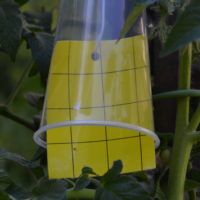 whitefly sticky trap bells