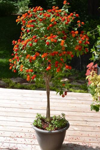 lantana tree